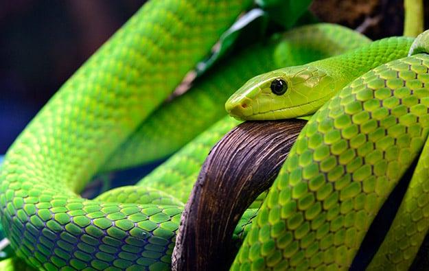mamba snake 2