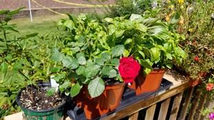 tee rose flower GS8
