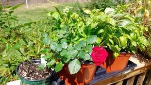 tee rose flower LG V30