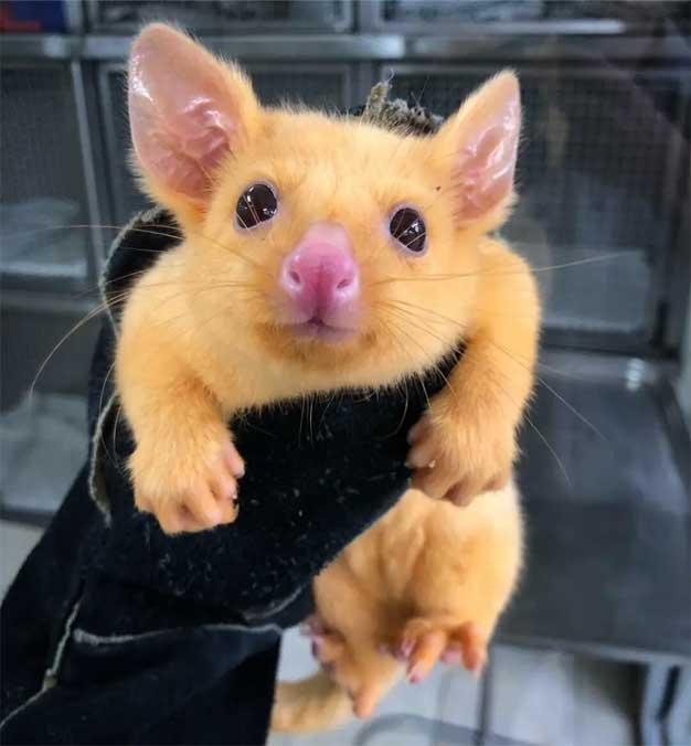 gold possum