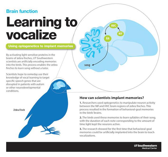 ut southwestern birds auditory memory implants