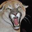 Mountain Lion Roars to 3 Million Downloads, is Apple's Most Successful OS X Release