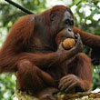Going Ape for Apps, Zoo Keepers Use iPads To Entertain Orangutans