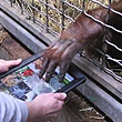 High Tech Playtime: Apps for Apes Program Provides iPads to Orangutans