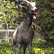 You Can't Make This Stuff Up, 'Goat Simulator' Is A Real Game Available Now For Pre-Order