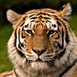 Roar! New York Bans 'Tiger Selfies'