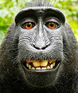 No Monkey Business, Monkey Selfie Defies The Laws Of Copyright