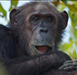 Go Hang With Jane Goodall's Chimps At Gombe National Park Via Google Street View